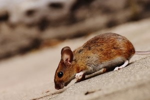 Mice Control, Pest Control in Kingston upon Thames, KT1. Call Now 020 8166 9746