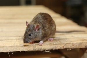 Rodent Control, Pest Control in Kingston upon Thames, KT1. Call Now 020 8166 9746